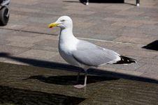 Free Bird, Gull, Seabird, European Herring Gull Royalty Free Stock Images - 134213809