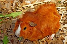 Free Fauna, Guinea Pig, Rodent, Snout Royalty Free Stock Images - 134213889