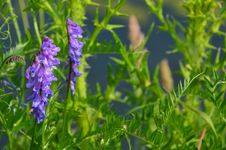Free Plant, Hyssopus, Grass, Lupin Stock Photography - 134213912