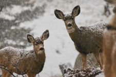 Free Two Deers In Snowy Field Stock Photography - 134472592
