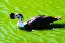 Free Duck, Bird, Water Bird, Water Royalty Free Stock Photo - 134700385