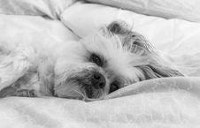 Free White, Dog, Black, Black And White Royalty Free Stock Photography - 134700527