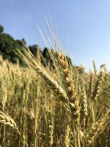 Free Food Grain, Triticale, Wheat, Rye Royalty Free Stock Images - 134700569