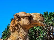 Free Wildlife, Camel, Fauna, Camel Like Mammal Royalty Free Stock Images - 134700589