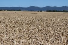 Free Crop, Grass Family, Field, Triticale Royalty Free Stock Photo - 134700645
