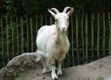 Free Goats, Goat, Horn, Cow Goat Family Stock Image - 134700671