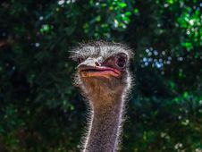 Free Ostrich, Ratite, Beak, Bird Royalty Free Stock Photography - 134700827