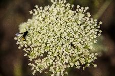Free Flower, Cow Parsley, Flora, Plant Stock Photo - 134700890