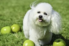 Free Dog Like Mammal, Dog Breed, Dog, Bichon Frisé Royalty Free Stock Photo - 134700955