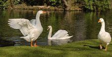 Free Water Bird, Bird, Ducks Geese And Swans, Pond Stock Photo - 134701040