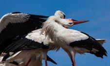 Free White Stork, Stork, Bird, Beak Royalty Free Stock Photo - 134701075