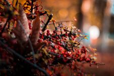 Free Round Red Berries Selective Focus Close-up Photo Royalty Free Stock Images - 134722439