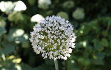 Free Plant, Flora, Flower, Apiales Royalty Free Stock Photos - 134764578