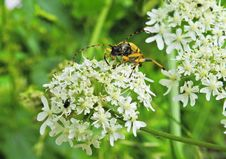 Free Parsley Family, Cow Parsley, Flora, Bee Stock Image - 134764651
