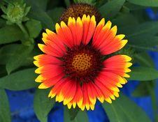 Free Flower, Blanket Flowers, Wildflower, Coneflower Stock Photography - 134764652