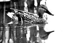 Free Duck, Bird, Water Bird, Black And White Stock Photos - 134764823