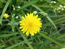 Free Flower, Yellow, Flora, Sow Thistles Royalty Free Stock Images - 134764869