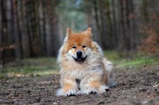 Free Dog, Dog Like Mammal, Dog Breed, German Spitz Mittel Stock Photos - 134764923