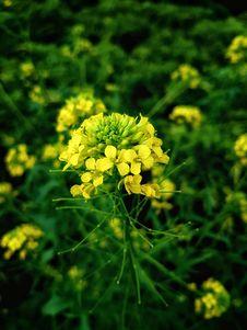 Free Yellow, Mustard Plant, Flower, Flora Stock Photos - 134765113
