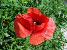 Free Flower, Poppy, Coquelicot, Poppy Family Stock Image - 134765381