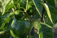 Free Plant, Vegetable, Bell Peppers And Chili Peppers, Peppers Royalty Free Stock Image - 134765406