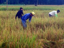 Free Agriculture, Crop, Paddy Field, Field Royalty Free Stock Photography - 134765467
