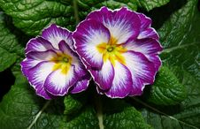 Free Flower, Primula, Plant, Flowering Plant Stock Images - 134765504