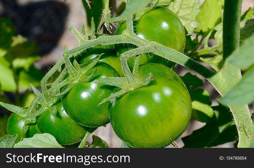 Fruit, Bush Tomato, Potato And Tomato Genus, Vegetable