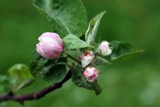 Free Apple Flower In Bloom Stock Photos - 13480223