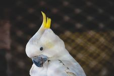 Free White Cockatoo With Yellow Crest Royalty Free Stock Images - 134821969