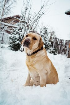Free Adult Yellow Labrador Retriever Standing On Snow Field Royalty Free Stock Image - 134822136
