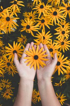 Free Person Holding Yellow Black-eyed Susan Flowers In Bloom Stock Photos - 134879633