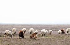 Free Herd Of Sheeps And Goats Stock Photography - 13491692