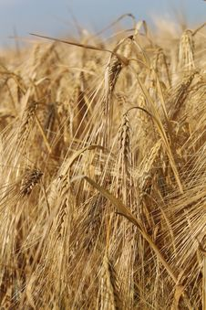 Free Food Grain, Wheat, Triticale, Barley Royalty Free Stock Image - 134930446