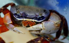 Free Crab, Freshwater Crab, Dungeness Crab, Decapoda Royalty Free Stock Images - 134930489