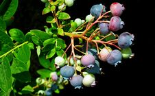 Free Fruit, Plant, Bilberry, Huckleberry Stock Photography - 134930592