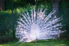 Free Peafowl, Galliformes, Feather, Grass Stock Photos - 134930843