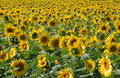Free Many Sunflowers In Blossom Royalty Free Stock Photography - 1352897