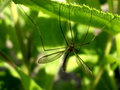 Free Daddy Long Legs 6 Stock Images - 1354004