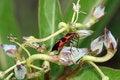 Free Milkweed Bug On Buds Stock Photography - 1354202