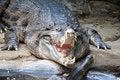 Free Alligator Ready Royalty Free Stock Photography - 1354617