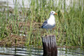 Free Seagull Perched Royalty Free Stock Images - 1354699