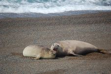 Free Sea-Lions´Play Royalty Free Stock Photography - 1350437