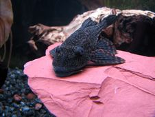 Free Plecostomus Royalty Free Stock Images - 1350939