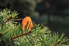 Birsh Leaves On The Pine Stock Photo