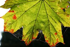 Free Maple Leaves Royalty Free Stock Images - 1351129