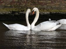 Free Kissing Swans Royalty Free Stock Image - 1351706