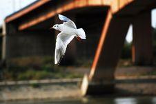 Free River Gull Stock Photos - 1353443