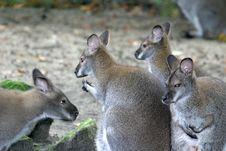Free Family Wallaby (kangaroo) Stock Photos - 1353583