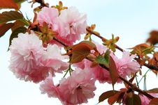 Free Branches Of Pink Royalty Free Stock Image - 1353636